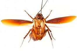 Do All Roaches Fly