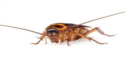 how long can roaches live without water