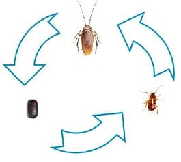 cockroach lifespan